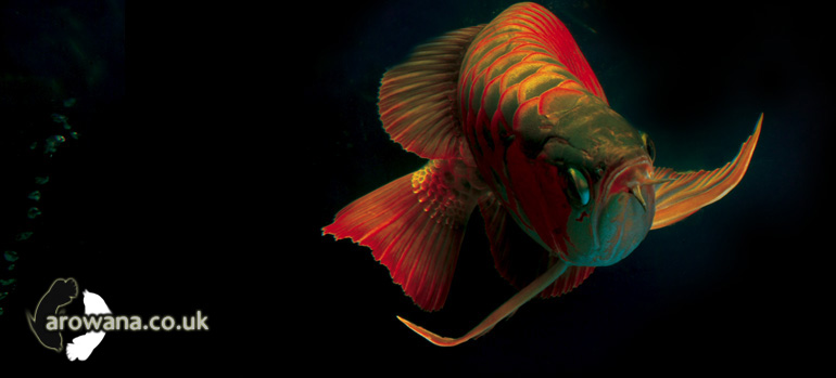 Buy & Import Arowana in the UK