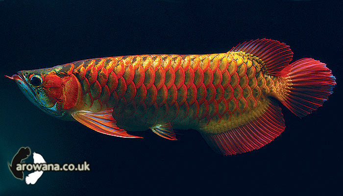 Chilli Red Arowana