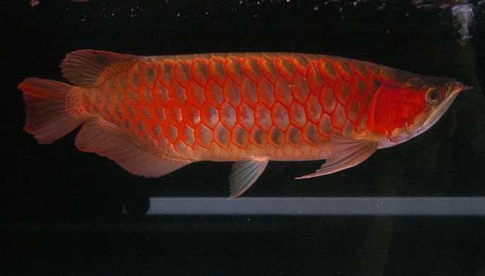 Super Red Arowana - 0035