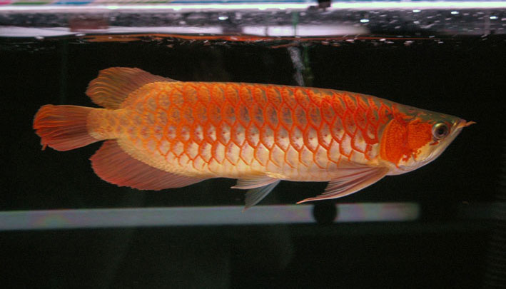 Super Red Arowana - 0047