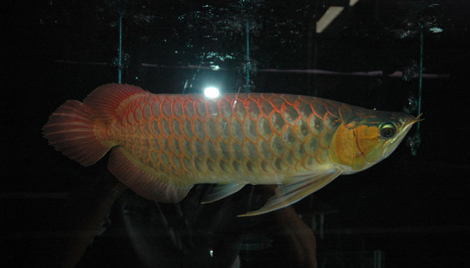 Super Red Arowana (Show Grade) - 0082