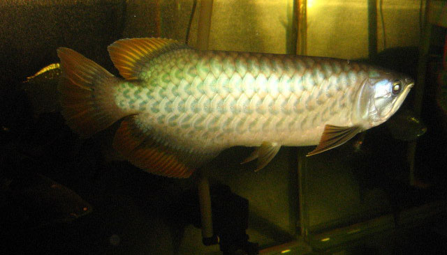 Green Asian Arowana