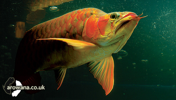 King Super Red Arowana