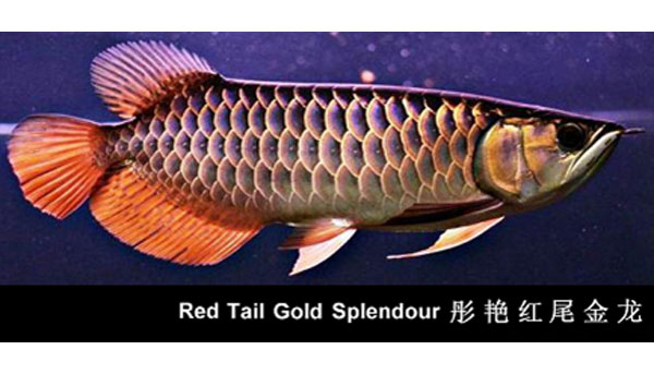 Red Tail Golden Splendour