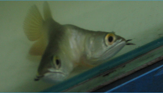 Siamese (Double Headed) Arowana